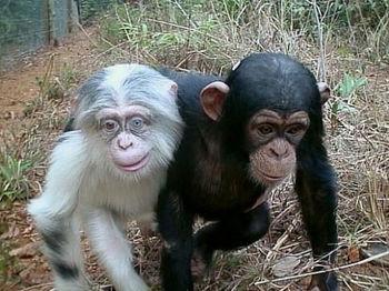9660007_チンパンジー.jpg